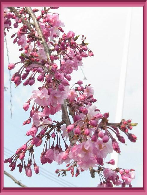 枝垂桜2019-3