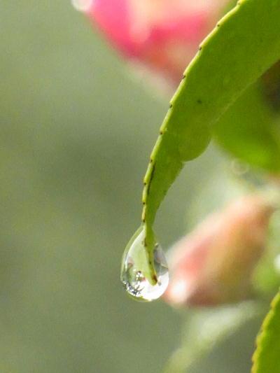サザンカ雨粒