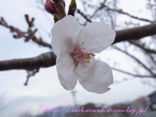 桜2014-2
