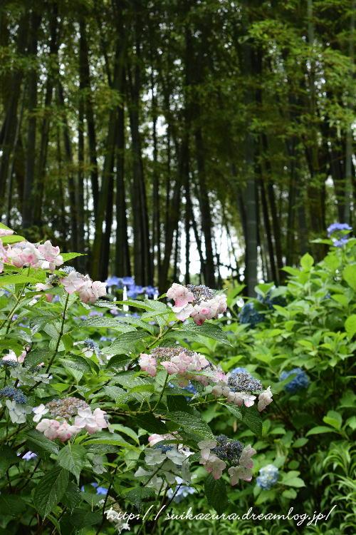 長府庭園紫陽花3