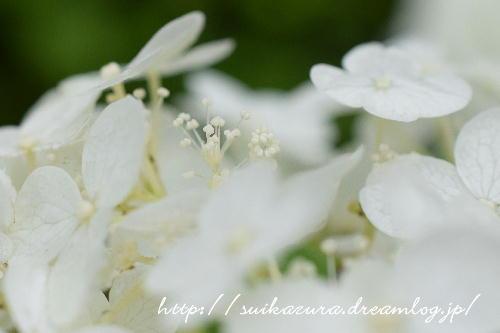 長府庭園紫陽花9