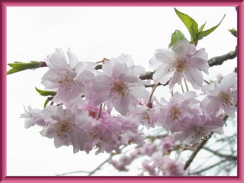 枝垂桜2019-2