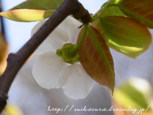 ナシの花4