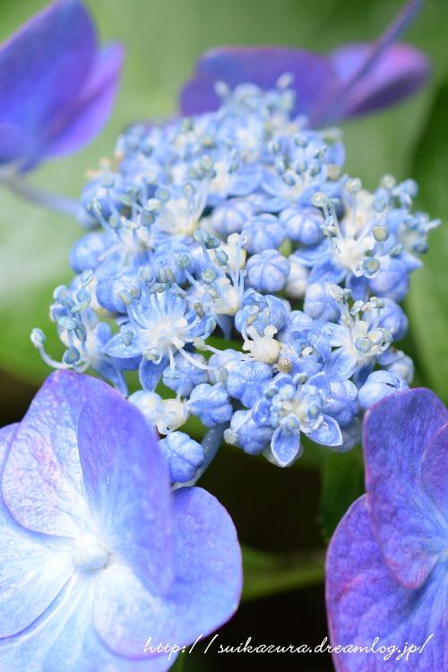 長府庭園紫陽花8