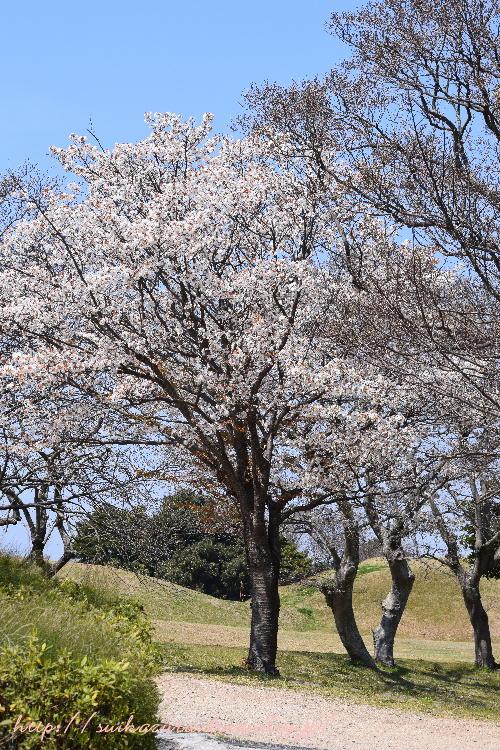 山桜2017