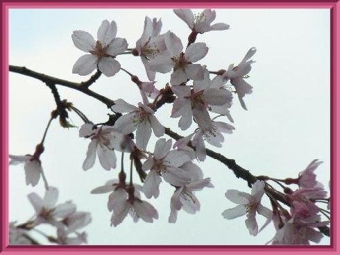 枝垂桜2019-1
