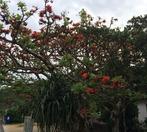 デイゴの木
