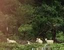 加計呂麻島のヤギ (2)