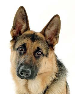 german-shepherd-dog1