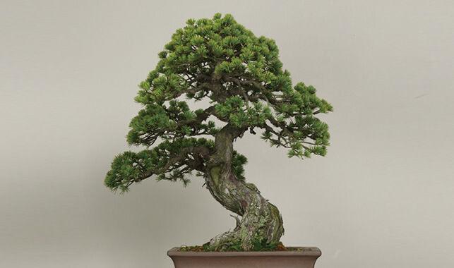 landing-bonsai-thumb-jukei