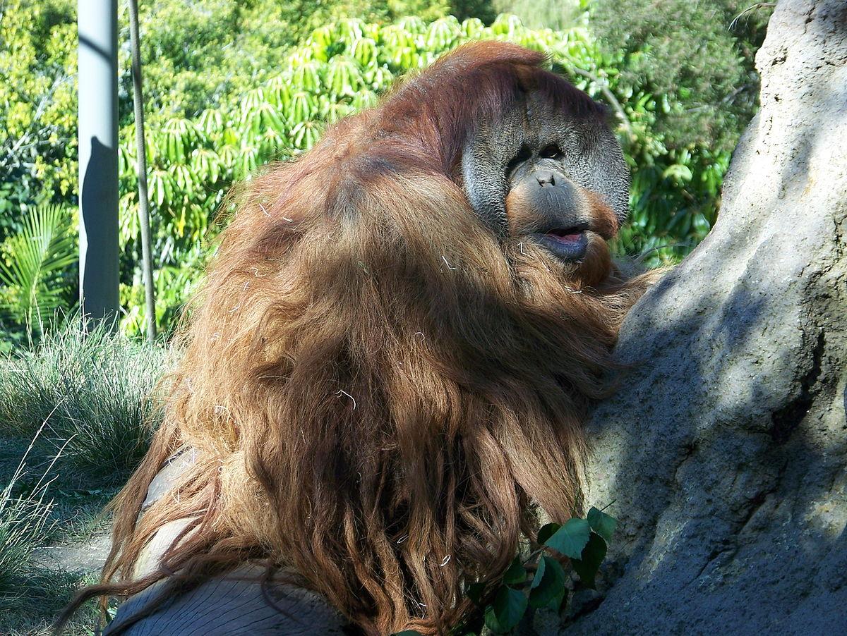 1200px-OrangutansitSDZoo07