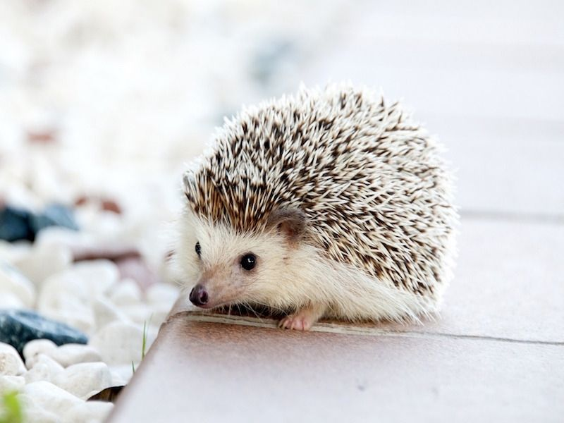 hedgehog_0_800