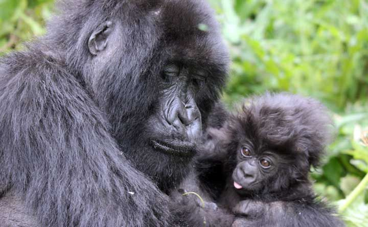 photo-20110810-Gorilla-Sabyinyo-Mother-infant