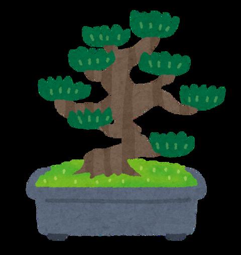 bonsai_matsu