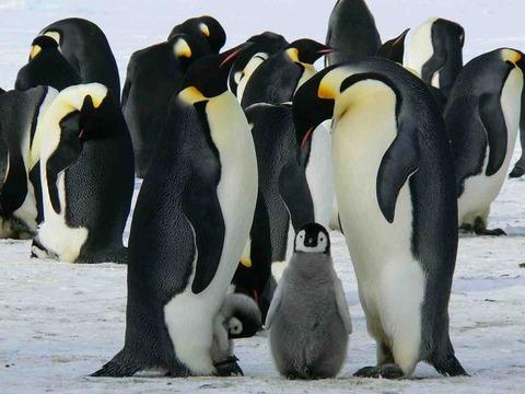 「ファースト・ペンギン」の意味。実は蹴り落とされたペンギンだった!?ペンギンの雑学