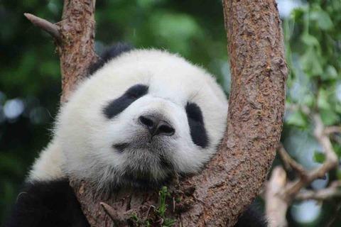 パンダはなぜ白黒なの?その理由と、その他パンダの雑学