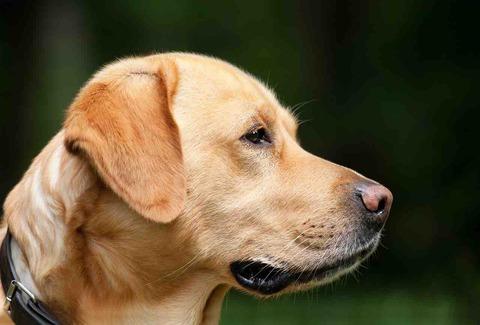 盲導犬は信号の色がわかってないよ。犬の視力に関する雑学