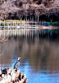 171230池を見張る鵜