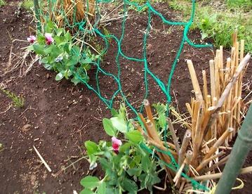 180427今日の畑・エンドウの花