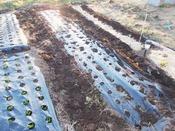 171211玉ねぎ34株、ジャガイモ12株の畝完成