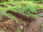 170624西洋野菜畝の除草
