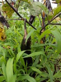 170701雑草に隠れるナス