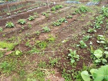 180427今日の畑・ジャガイモとネギ