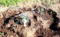 180430今日の畑・水ナスよトマト植えた