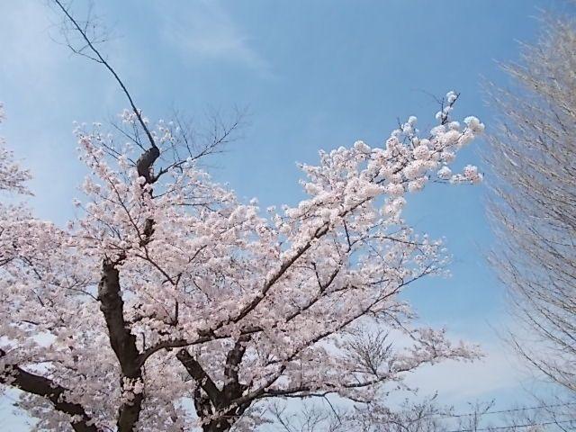 170415桜