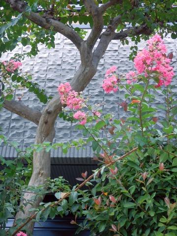 210919walk花と樹肌を愉しむサルスベリ