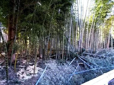 170214竹採取の竹林