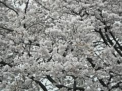 110409桜