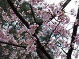060324大寒桜