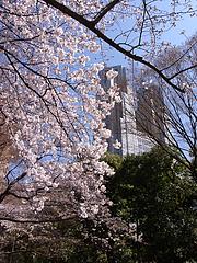 110404桜と都庁