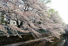 100406桜1