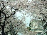 060329学園通り桜
