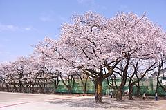110410桜