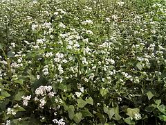100921蕎麦の花