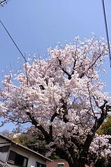 110412桜