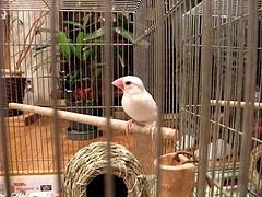 090919白文鳥