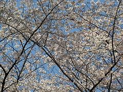 090403桜@石神井公園