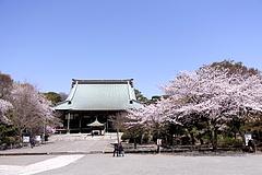 110412遊行寺の桜