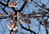050319大寒桜