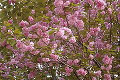 080422八重桜