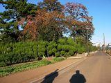 061112柿の木