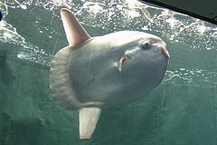 100815マンボウ@サンシャイン国際水族館