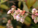 070331ブルーベリーの花