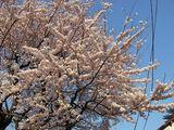 070329桜
