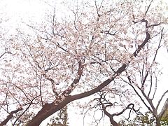 110408桜@牧野記念庭園