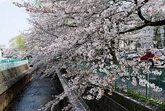100406桜2